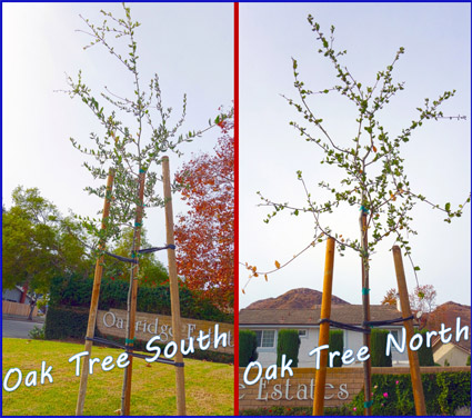 Our two new oak trees